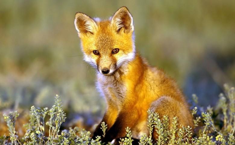 Η λαίμαργη αλεπού
