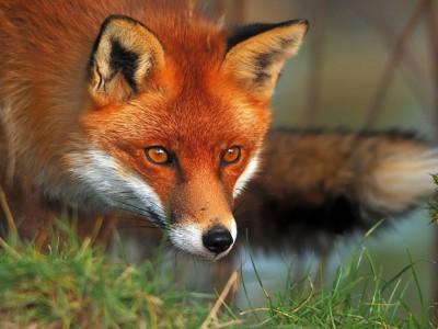 Η αλεπού και η ουρά της