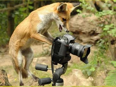 Η αλεπού φωτογράφος...