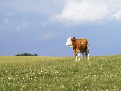 Η καλή μας αγελάδα