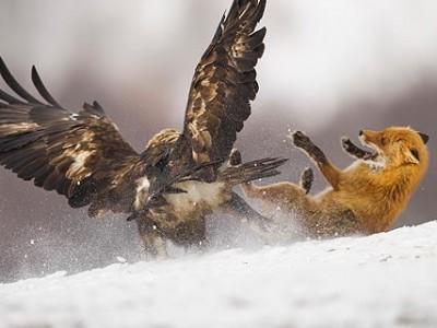 Ο Αετός και η Αλεπού